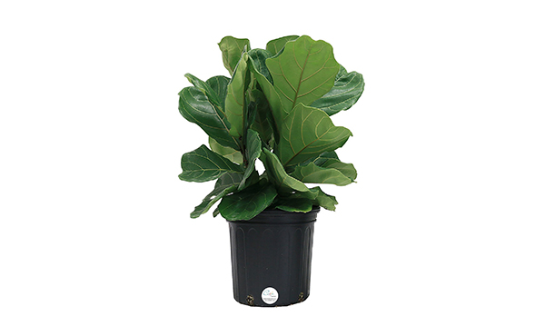 Costa Fiddle Leaf Fig Plant