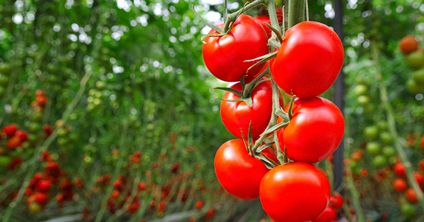 How to Grow Tomatoes Indoors Like a Pro