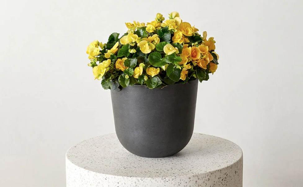 bloomscape begonia kit